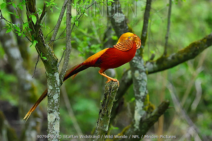 Golden pheasant (Chrysolophus pictus) male perched in tree,Tangjiahe National Nature Reserve, Qingchuan County, Sichuan province, China. Endemic species for China