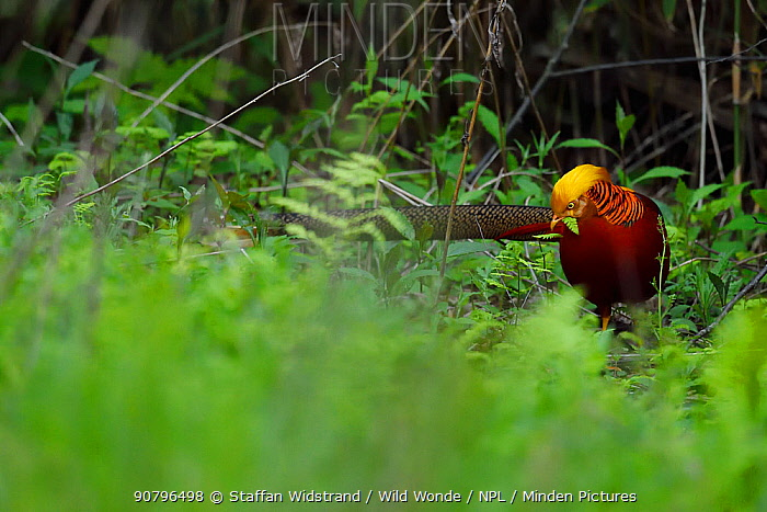 Golden pheasant (Chrysolophus pictus) male walking through the forest , Tangjiahe National Nature Reserve, Qingchuan County, Sichuan province, China. Endemic species for China