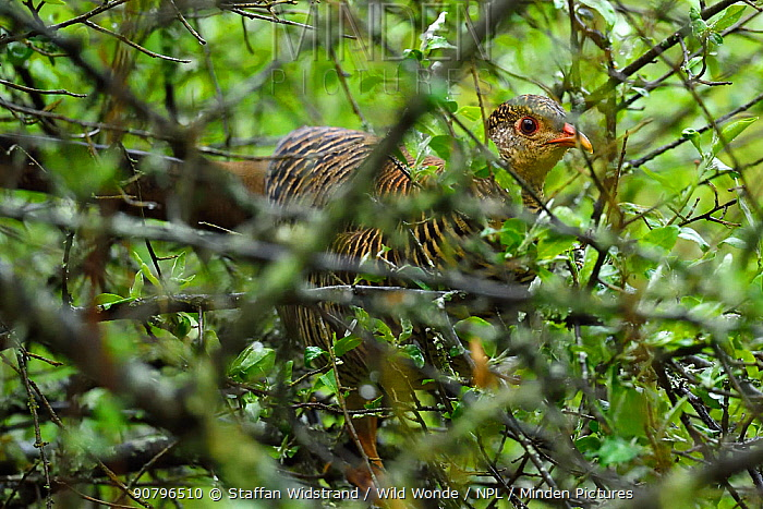 Golden pheasant (Chrysolophus pictus) female walking through the forest , Tangjiahe National Nature Reserve, Qingchuan County, Sichuan province, China. Endemic species for China