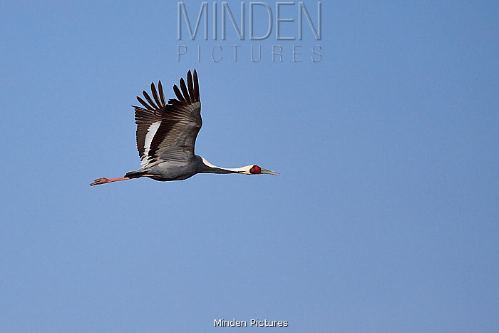 White-naped crane (Grus vipio) flying in front of blue sky in Inner Mongolia, China