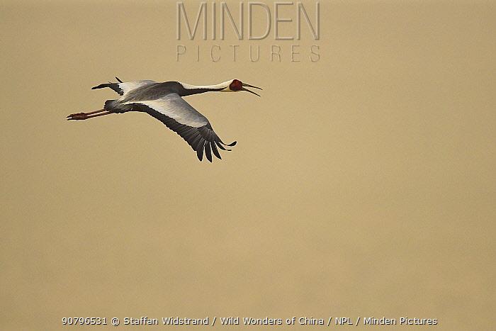 White-naped crane (Grus vipio) flying, Inner Mongolia, China