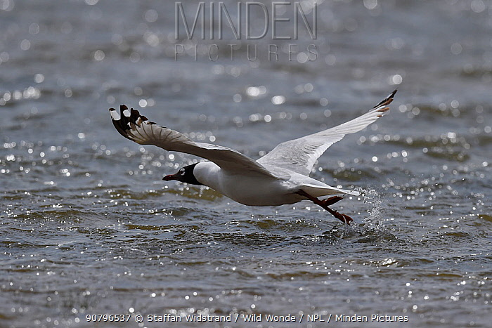 Relict or Central Asian gull (Larus or Ichthyaetus relictus)in flight over water, Inner Mongolia, China