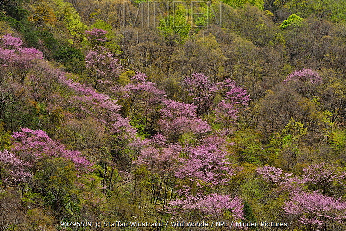 Landscape of with flowering Cherry trees (Prunus sp) Tangjiahe National Nature Reserve,Qingchuan County, Sichuan province, China