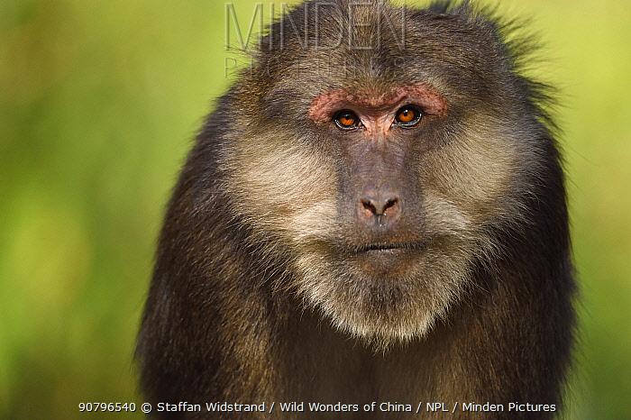 Tibetan macaque (Macaca thibetana) portrait, Tangjiahe National Nature Reserve,Qingchuan County, Sichuan province, China