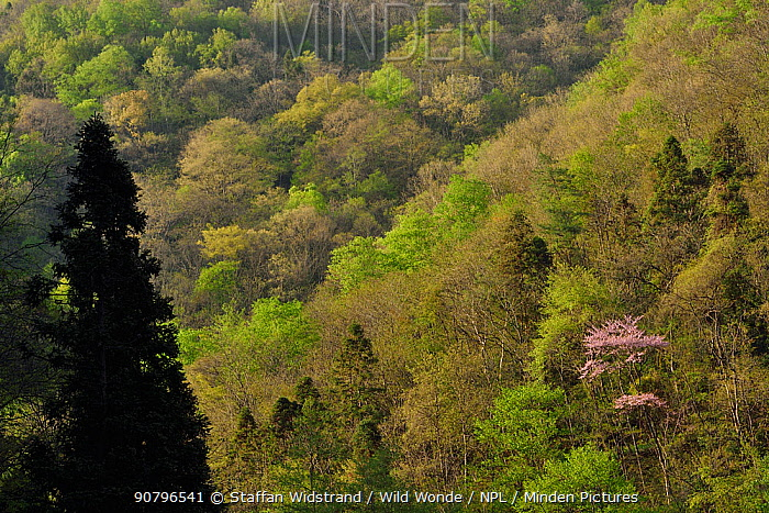 Forest , Tangjiahe National Nature Reserve,Qingchuan County, Sichuan province, China