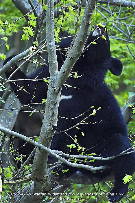 Asian black bear (Ursus thibetanus) feeding on leaves of a tree , Tangjiahe National Nature Reserve,Qingchuan County, Sichuan province, China
