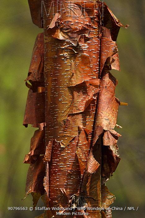 Sichuan birch (Betula szechuanica) Tangjiahe National Nature Reserve,Qingchuan County, Sichuan province, China
