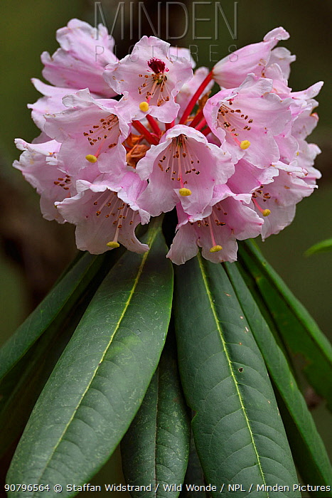 Rhododendron (Rhododendron sp) in flower, Tangjiahe National Nature Reserve,Qingchuan County, Sichuan province, China