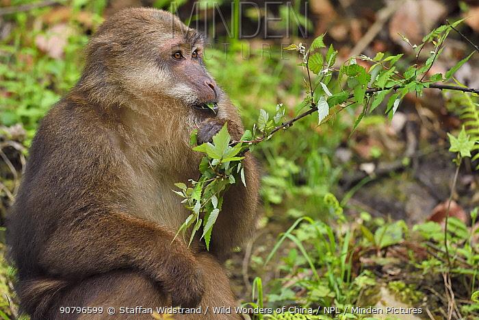 Tibetan macaque (Macaca thibetana) feeding on leaves Tangjiahe National Nature Reserve,Qingchuan County, Sichuan province, China