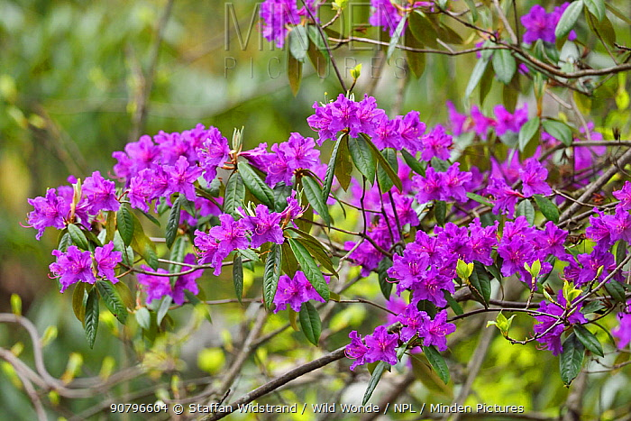 Rhododendron (Rhododendron sp) flowers blooming purple, Tangjiahe National Nature Reserve,Qingchuan County, Sichuan province, China