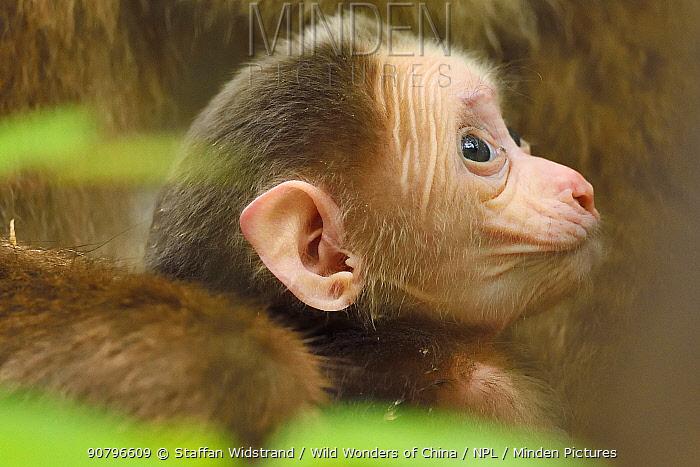 Tibetan macaque (Macaca thibetana) baby suckling, Tangjiahe National Nature Reserve,Qingchuan County, Sichuan province, China