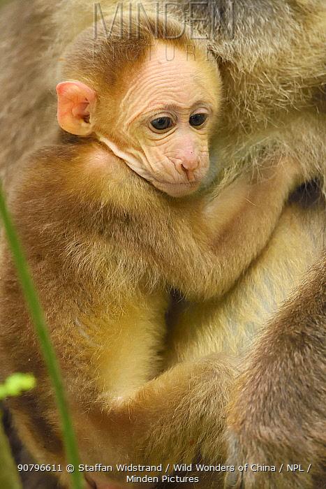 Tibetan macaque (Macaca thibetana) baby, Tangjiahe National Nature Reserve,Qingchuan County, Sichuan province, China