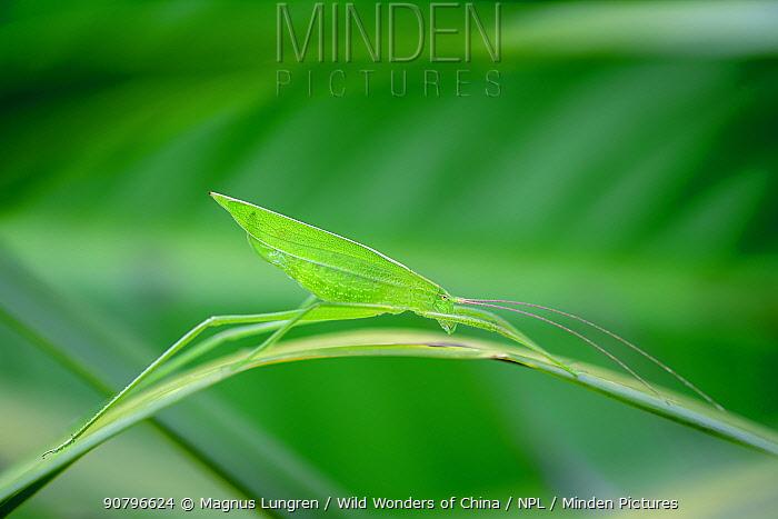 Long-horned grasshopper (Ectadia fulva) on leaf. Wuliangshan Nature Reserve, Jingdong, Yunnan Province, China.