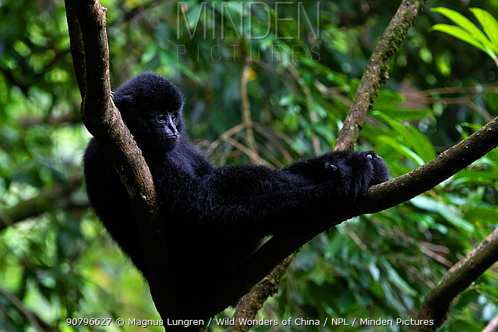 Central Yunnan black crested gibbon (Nomascus concolor jingdongensis), dominant male sitting in fork of tree. Wuliangshan Nature Reserve, Jingdong, Yunnan Province, China.
