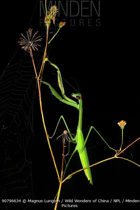 Praying mantis (Tenodera sp) on plant at night. Wuliangshan Nature Reserve, Jingdong, Yunnan Province, China.