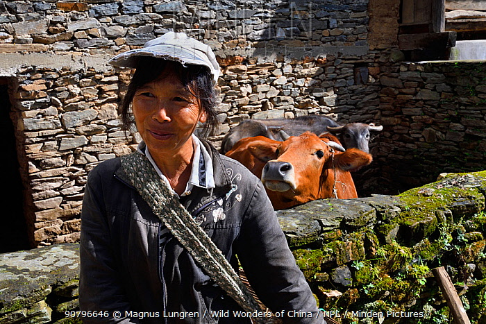 Farmer with two cows in background. Stone village in Wuliangshan Nature Reserve, Jingdong, Yunnan Province, China. October 2017.