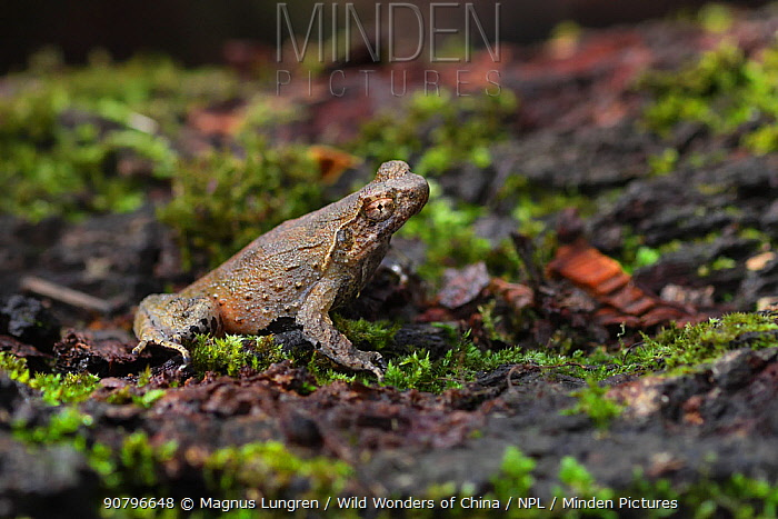 Short-legged horned / Peak spadefoot toad (Megophrys brachykolos) sitting on ground. Wuliangshan Nature Reserve in Jingdong, Yunnan Province, China.