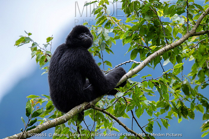 Central Yunnan black crested gibbon (Nomascus concolor jingdongensis), alpha male sitting in tree branch. Wuliangshan Nature Reserve, Jingdong, Yunnan Province, China.