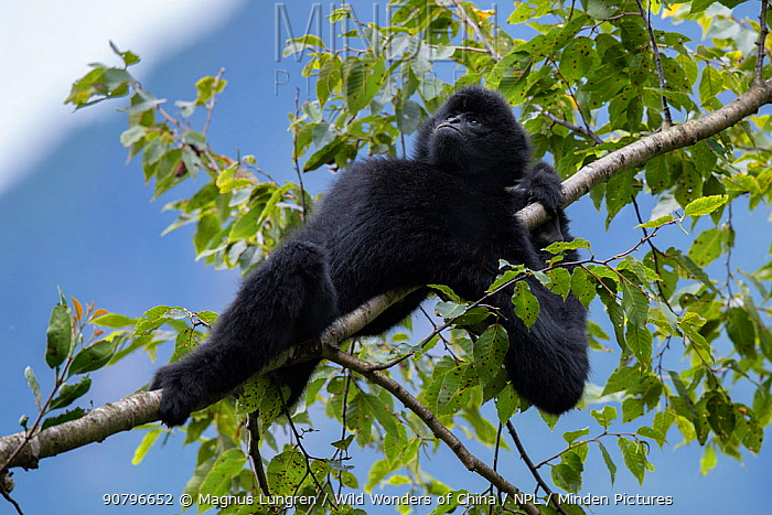 Central Yunnan black crested gibbon (Nomascus concolor jingdongensis), alpha male lounging in tree. Wuliangshan Nature Reserve, Jingdong, Yunnan Province, China.