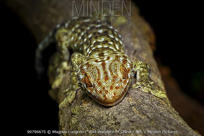 Tokay gecko (Gekko gecko) Shek Pik, Lantau Island, Hong Kong, China.
