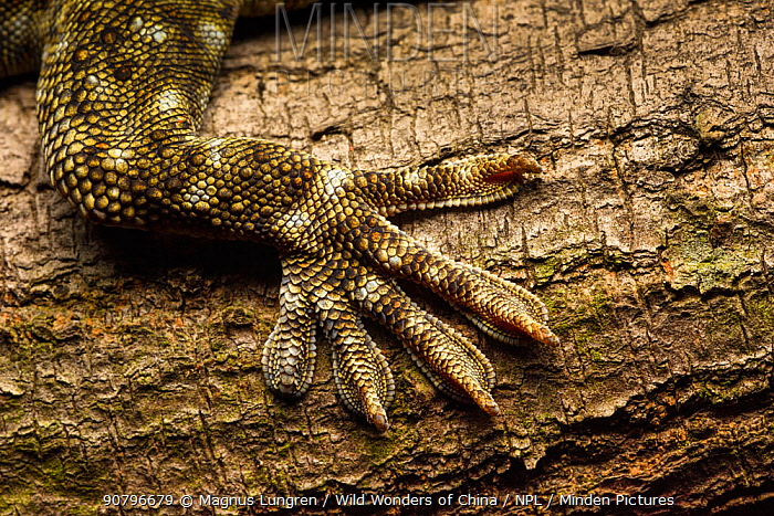 Tokay gecko (Gekko gecko) close up of foot, Shek Pik, Lantau Island, Hong Kong, China.