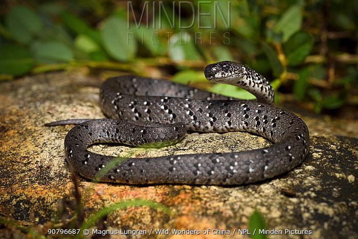 Spotted slug snake (Pareas margaritophorus) Lantau Island, Hong Kong, China