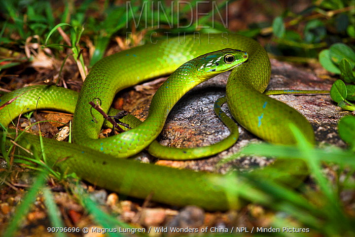 Greater Green Snake (Cyclophiops major) Shek Pik, southwestern coast of Lantau Island, Hong Kong, China
