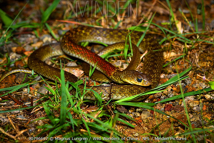 Red-necked keelback (Rhabdophis subminiatus) venomous snake, Shek Pik, southwestern coast of Lantau Island, Hong Kong, China