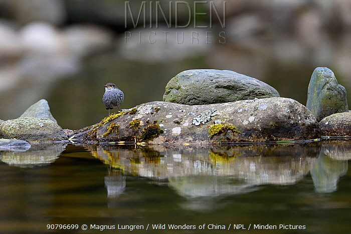 Plumbeous water redstart (Phoenicurus fuliginosus) on a rock in the water, Tangjiahe National Nature Reserve, Sichuan Province, China