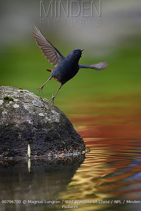 Plumbeous water redstart (Phoenicurus fuliginosus) taking off from a rock in the water, Tangjiahe National Nature Reserve, Sichuan Province, China