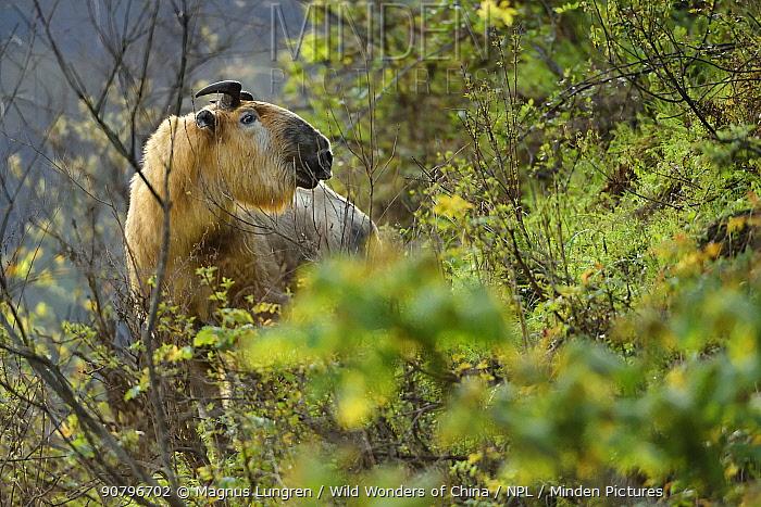 Takin (Budorcas taxicolor) looking at camera, Tangjiahe National Nature Reserve, Sichuan Province, China