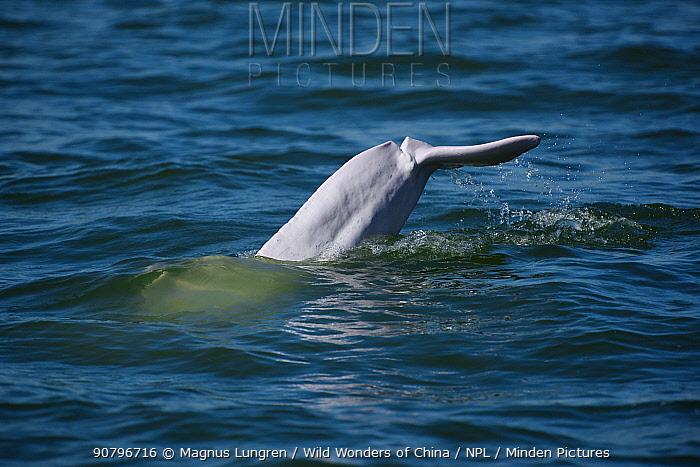 Indo-Pacific humpback dolphin ( Sousa chinensis) diving, Tai O, Lantau Island, Hong Kong, China.
