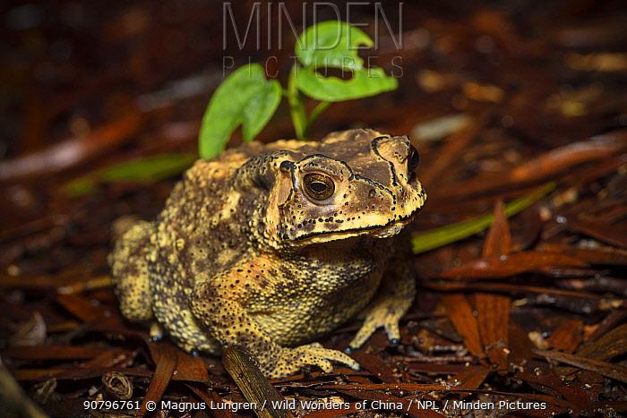 Asian common toad (Bufo melanostictus) Tai Tam Country Park, Hong Kong, China.