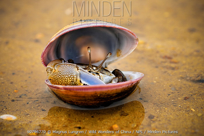 Fiddler crab (Uca) male, hiding in an old shell at Ha Pak Nai mudflat, Yuen Long District, Hong Kong, China.