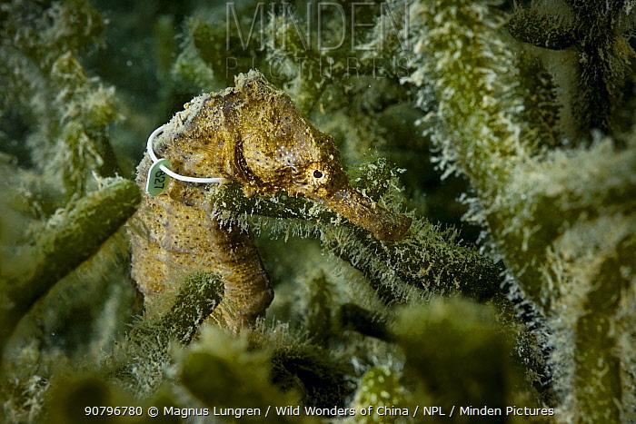 Yellow seahorse (Hippocampus kuda) with tag, Hoi Ha Wan Marine Park, northeast coast, New territories, Hong Kong, China.