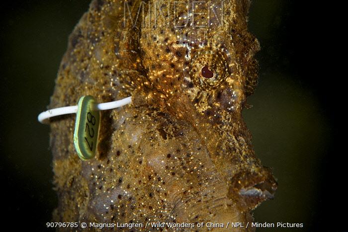 Yellow seahorse (Hippocampus kuda) is tagged underwater for OPCF's program. Hoi Ha Wan Marine Park, Hong Kong, China.