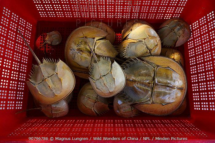 Old shells of Chinese horseshoe crab (Tachypleus tridentatus) Ha Pak Nai, Yuen Long District, Hong Kong, China.