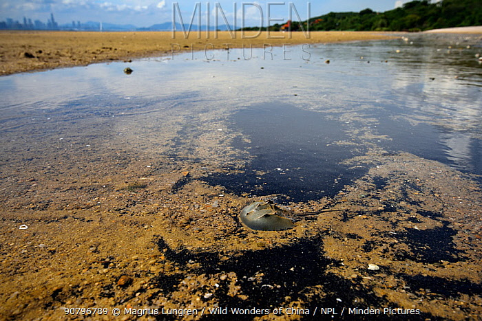 Juvenile chinese horseshoe crab (Tachypleus tridentatus) Ha Pak Nai wetlands, Yuen Long District, Hong Kong, China.