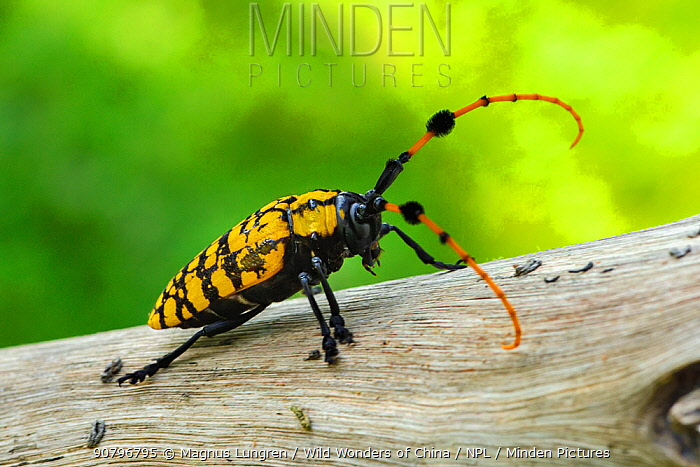Long horned beetle (Anoplophora sp) found in Ha Pak Nai, Yuen Long District facing Deep Bay, New territories, Hong Kong, China.