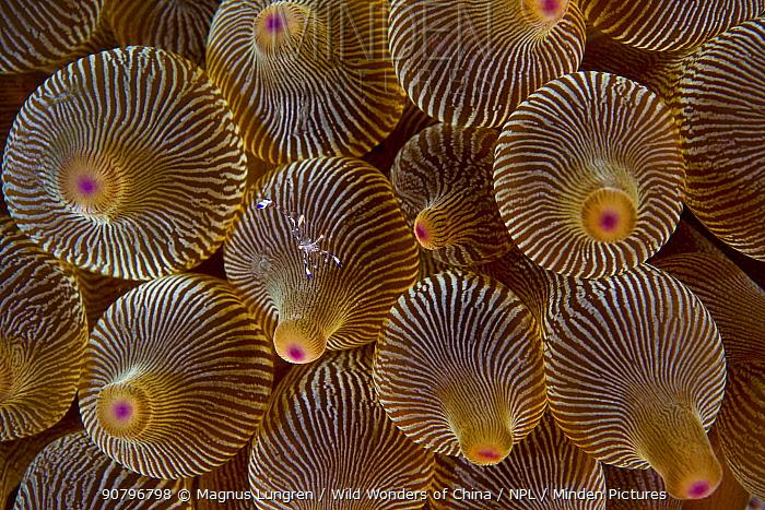 Anemone shrimp (Periclimenes holthuisi) in an anemone. Shelter Island, Sai Kung archipelago, Hong Kong, China.