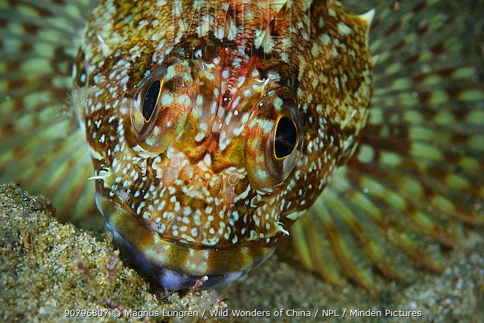 Marbled rockfish (Sebastiscus marmoratus) along the shore of Sai Kung East Country Park, Hong Kong, China.