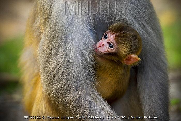Rhesus macaque (Macaca mulatta) baby suckling, Kam Shan Country Park, north of Kowloon, Hong Kong, China