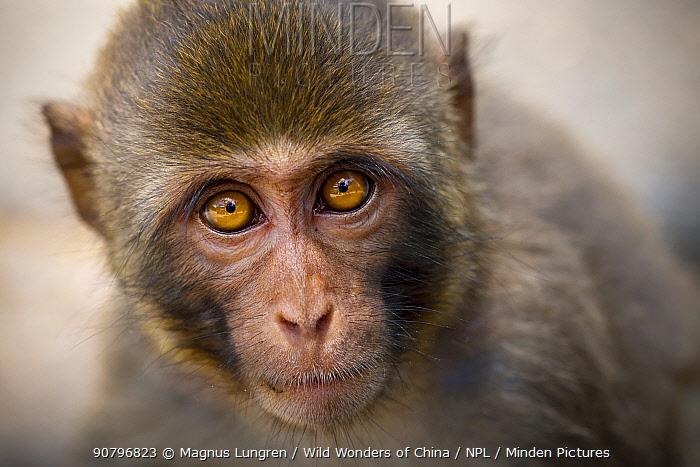 Rhesus macaque (Macaca mulatta) Kam Shan Country Park, north of Kowloon, Hong Kong, China.