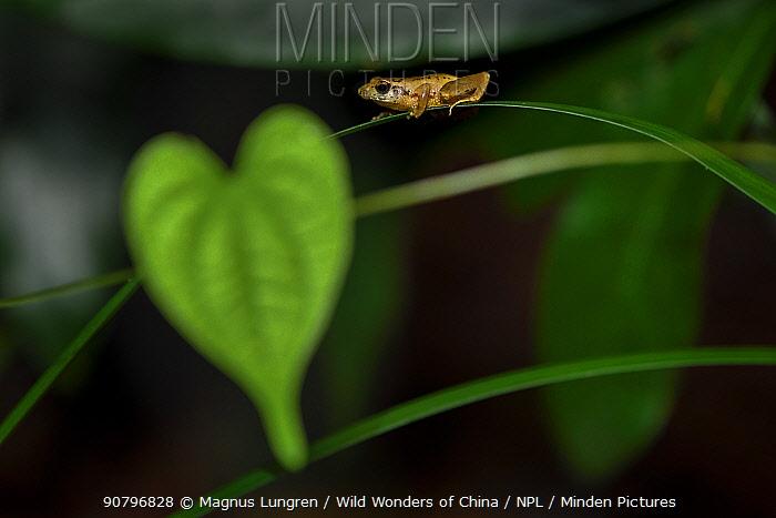 Romer's tree frog (Liuixalus romeri) on leaf, Pat Sin Leng Country Park. Hong Kong, China. Endemic to Hong Kong