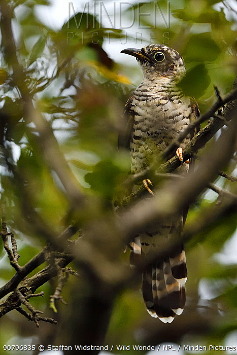 Young Indian cuckoo (Cuculus micropterus) sitting in a tree, seen through leaves, Guangshui, Hubei province, China, July.