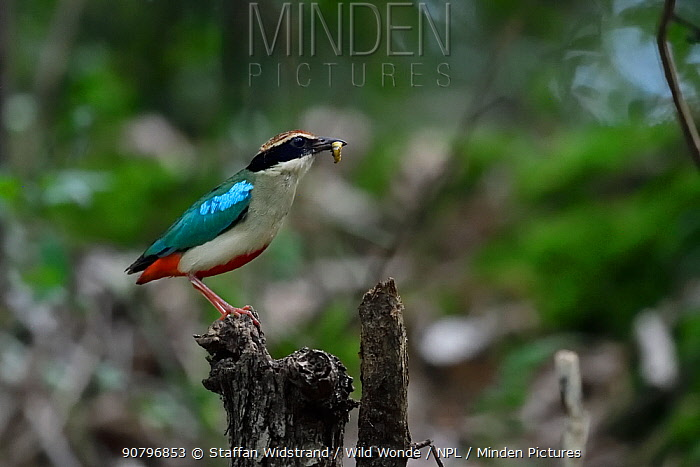 Fairy pitta (Pitta nympha) with a maggot in its beak, Guangshui, Hubei province, China. July.