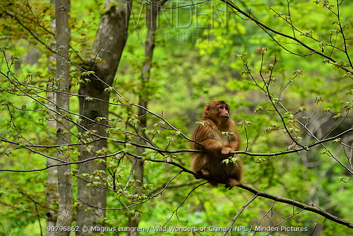 Tibetan macaque (Macaca thibetana) sitting in a tree, Tangjiahe Nature Reserve, Sichuan Province, China