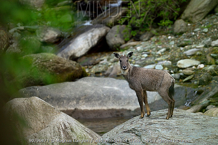 Chinese or Long-tailed goral (Naemorhedus griseus) standing on a stone by a river Tangjiahe National Nature Reserve, Sichuan Province, China
