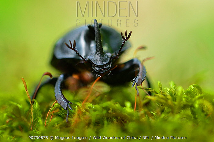 Rhinoceros beetle (Oryctes sp) on a moss covered tree trunk , Tangjiahe National Nature Reserve, Sichuan Province, China