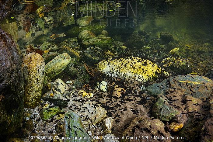 Tadpoles on a stone in Tangjiahe river, Tangjiahe National Nature Reserve, Sichuan Province, China